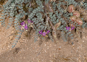 Astragalus whitneyi (Balloon-pod Milk-vetch, Balloon Milk-vetch, Whitney's Locoweed)
