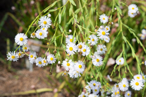 Boltonia decurrens (winged false aster)