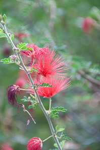Calliandra peninsularis (Baja Fairy Duster)