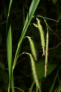 Carex crinita (Drooping Sedge, Long-haired Sedge, Fringed Sedge)