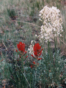 Castilleja integra (Foothill Paintbrush, Wholeleaf Indian Paintbrush, Squawfeather)