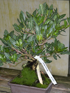 Conocarpus erectus (Buttonwood, Button Mangrove, Green Buttonwood)