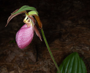 Cypripedium acaule (Pink Lady's Slipper, Moccasin Flower, Lady's Slipper)