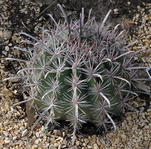 Ferocactus gracilis (Baja Fire Barrel, Fire Barrel Cactus, Fishhook Cactus, Biznaga Colorada)