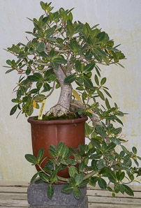 Ficus microcarpa (Green Island Fig)