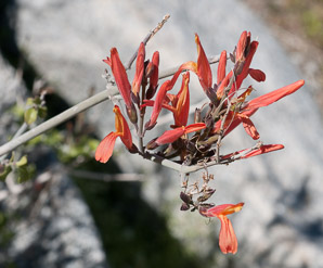 Justicia californica (chuparosa, beloperone, hummingbird bush)