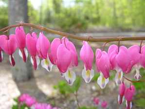 Lamprocapnos spectabilis (Bleeding Hearts, Lyre Flower, Lady-in-a-bath)