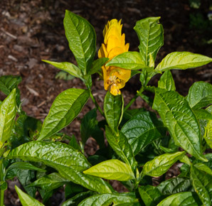 Pachystachys lutea (Golden Shrimp Plant, Lollipop Plant)