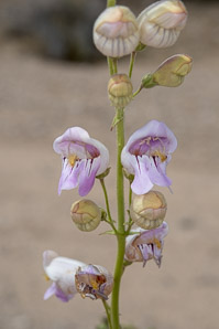 Penstemon palmeri (Palmer's Penstemon)