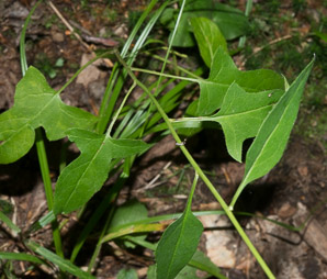 Prenanthes trifoliolata (Gall-of-the-Earth, Fall Rattlesnake-root, Three-leaf Rattlesnake-root, Gall-of-the-earth)