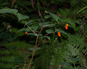 Prosartes smithii (large-flowered fairy bell)