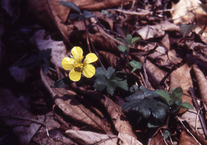 Ranunculus fascicularis (Early Buttercup)