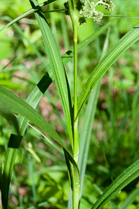 Scirpus atrovirens (Green Bulrush, Dark-green Bulrush, Dark-green Bullrush)