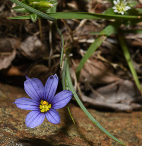 Sisyrinchium angustifolium (Blue-eyed Grass, Narrow-leaved Blue-eyed Grass)