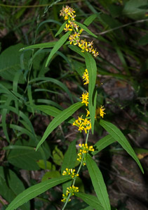 Solidago caesia (Wreath Goldenrod, Blue-stemmed Goldenrod, Early Goldenrod, Blue-Stemmed Goldenrod)