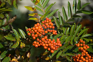 Sorbus aucuparia (European Mountain Ash)
