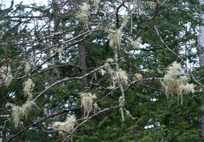 Usnea lapponica (powdered beard lichen, Lapland beard lichen)
